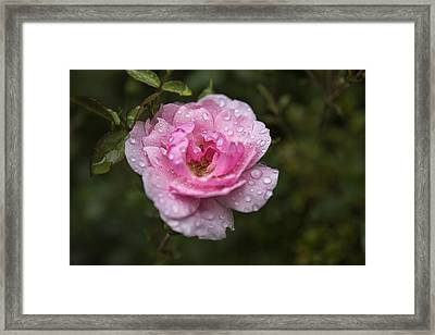 Pink Rose With Raindrops Framed Print by Belinda Greb