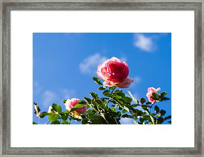 Pink Roses - Featured 3 Framed Print by Alexander Senin