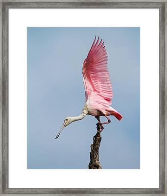 Pink Spoonbill Ready For Takeoff Framed Print by Bill Swindaman