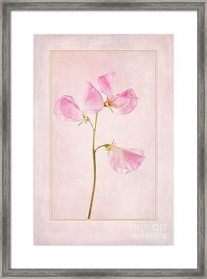 Pink Sweet Pea Framed Print by John Edwards