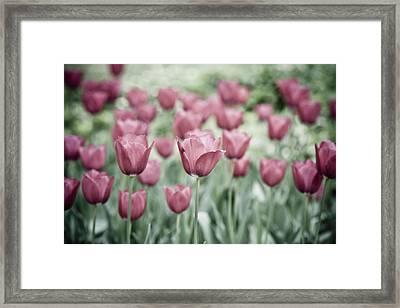 Pink Tulip Field Framed Print by Frank Tschakert