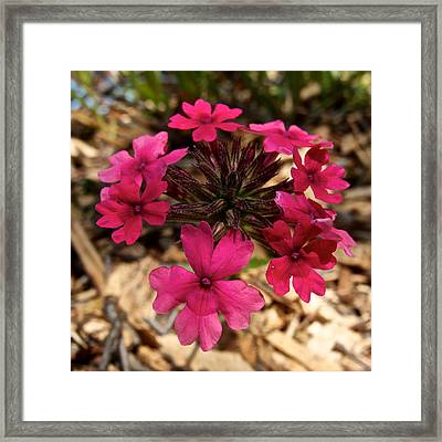 Pink Vervain In Park Sierra-ca Framed Print by Ruth Hager