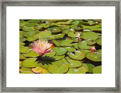 Pink Waterlilies In Koi Pond Framed Print by Cliff Wassmann