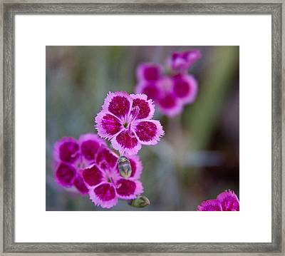 Pinks Framed Print by Frank Tozier