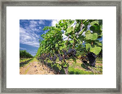 Pinot Noir Grapes In Niagara Framed Print by Charline Xia