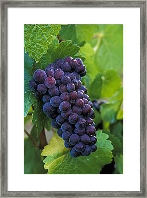 Pinot Noir Framed Print by Greg Vaughn