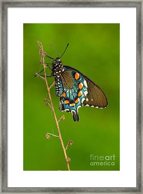 Pipevine Swallowtail Framed Print by Anthony Heflin