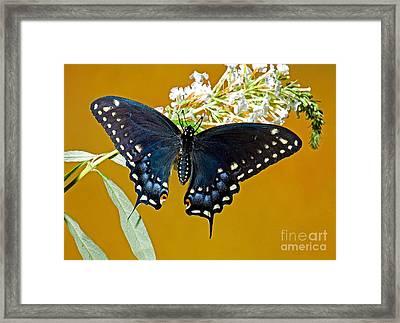 Pipevine Swallowtail Butterfly Framed Print by Millard H. Sharp