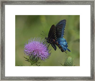 Pipevine Swallowtail Visiting Field Thistle Din158 Framed Print by Gerry Gantt