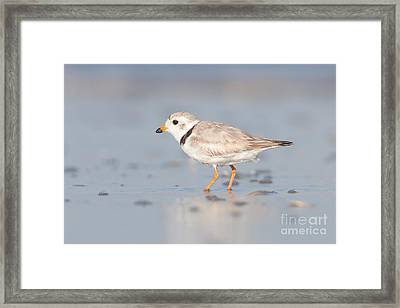 Piping Plover II Framed Print by Clarence Holmes