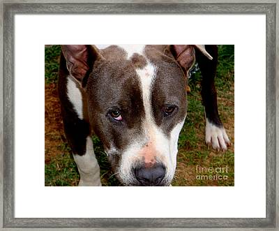 Pit Bull - 2 Framed Print by Mary Deal