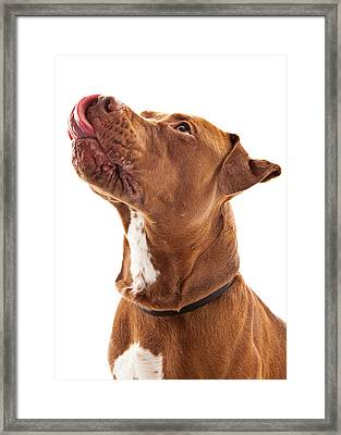 Pit Bull Dog Licking Lips Framed Print by Susan  Schmitz