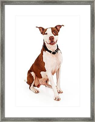 Pit Bull Dog With Happy Expression Framed Print by Susan Schmitz