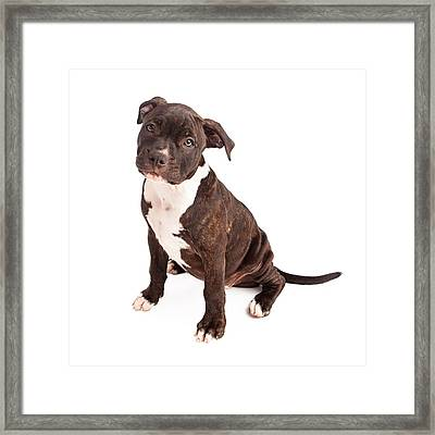 Pit Bull Puppy Black And White Framed Print by Susan  Schmitz