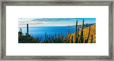 Pitaya And Cardon Cactus On Coast Framed Print by Panoramic Images
