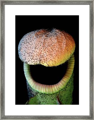 Pitcher Plant Trap Framed Print by Stefan Diller