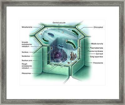 Plant Cell, Illustration Framed Print by Evan Oto