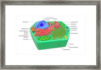 Plant Cell Framed Print by Science Photo Library