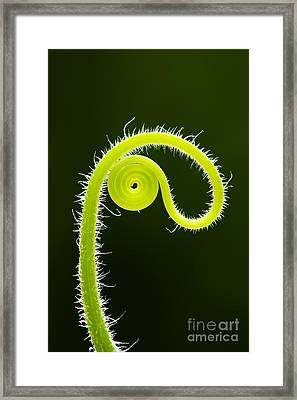 Plant Tendril Framed Print by Tim Gainey