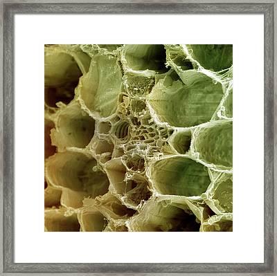 Plant Vascular Bundle Framed Print by Ami Images