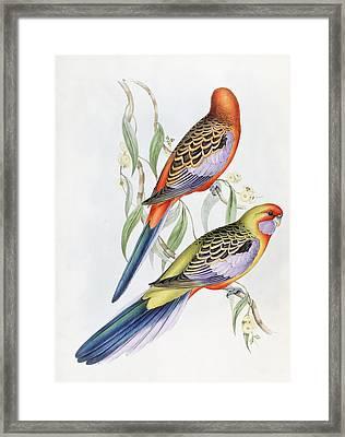 Platycercus Adelaidae From The Birds Of Australia Framed Print by John Gould