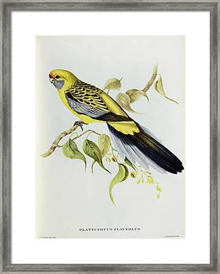 Platycercus Flaveolus Framed Print by John Gould