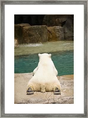 Playful Polar Bear Framed Print by Adam Romanowicz