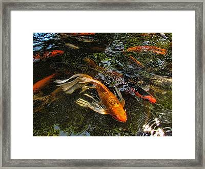 Playing Koi With Me Framed Print by Shannon Story
