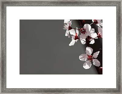 Plum Blossom Framed Print by Peter Tellone