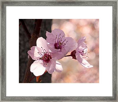 Plum Blossoms Framed Print by Rona Black