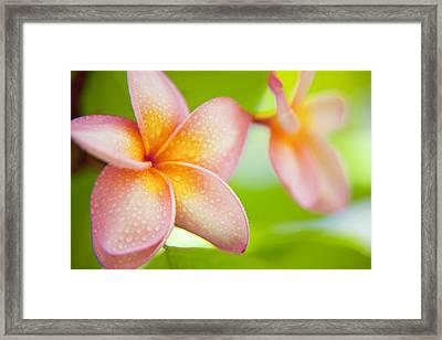 Plumeria Pastels Framed Print by Sean Davey