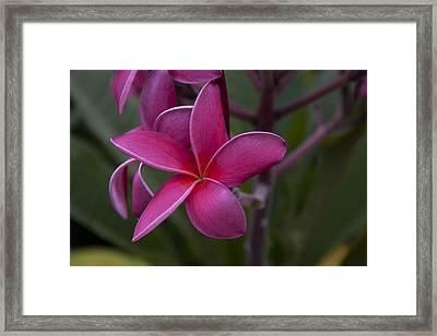 Plumeria Framed Print by Randy Bayne