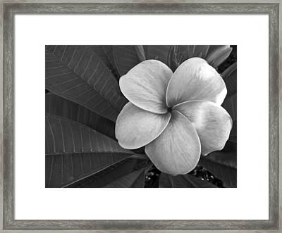 Plumeria With Raindrops Framed Print by Shane Kelly