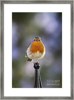 Plump Robin Framed Print by Tim Gainey