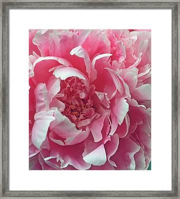 Plush Peony Framed Print by Kathy Yates