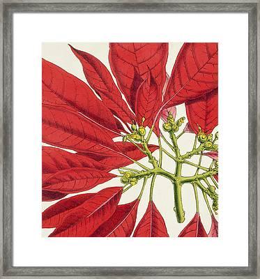 Poinsettia Pulcherrima Framed Print by WG Smith
