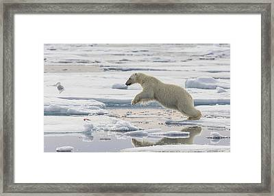 Polar Bear Jumping  Framed Print by Peer von Wahl