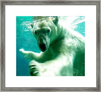 Polar Bear Plunge Framed Print by Rachel Cash
