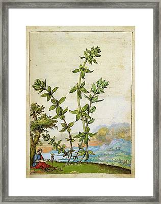Poligonum Aviculare Plant Framed Print by British Library