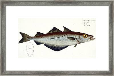 Pollack Framed Print by Andreas Ludwig Kruger