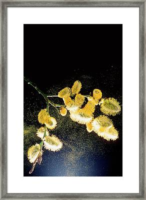 Pollen From Pussy Willow Framed Print by Ashley Cooper