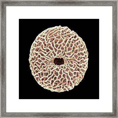 Pollen Grain Framed Print by Natural History Museum, London