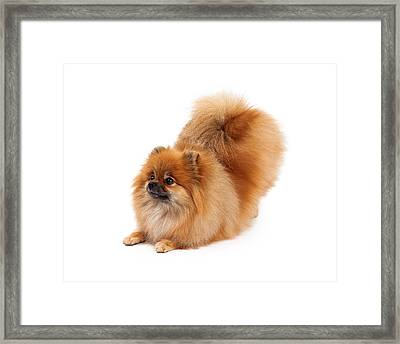 Pomeranian Bowing Looking To Side Framed Print by Susan  Schmitz