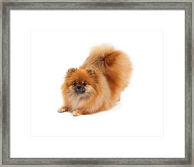 Pomeranian In Downdog Position Framed Print by Susan  Schmitz