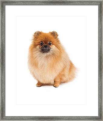 Pomeranian Sitting Looking Forward Framed Print by Susan  Schmitz