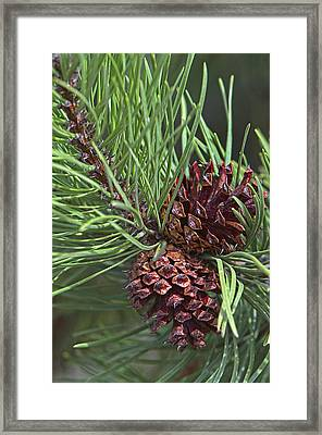 Ponderosa Pine Cones Framed Print by Sharon Talson