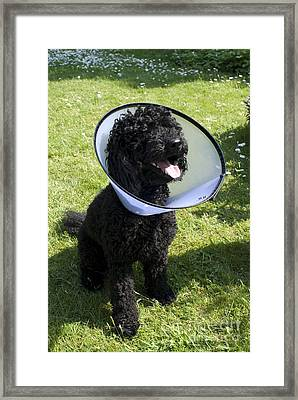 Poodle With Protective Wimple Framed Print by Ardea
