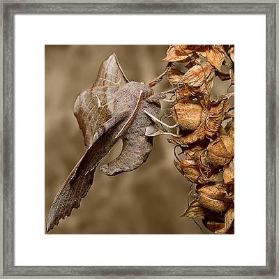 Poplar Hawk Moth Framed Print by Mr Bennett Kent