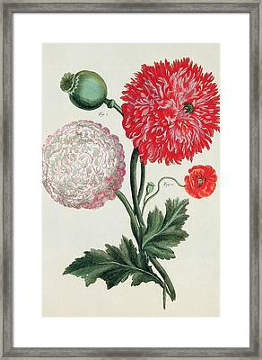 Poppy Framed Print by Basilius Besler
