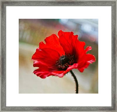 Poppy Framed Print by Buster Brown